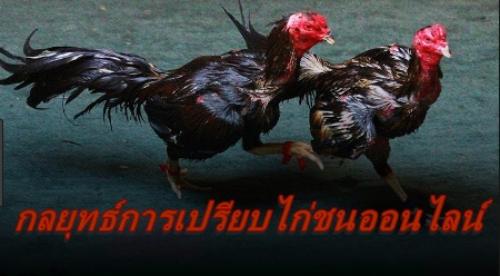 UFABET Cockfight